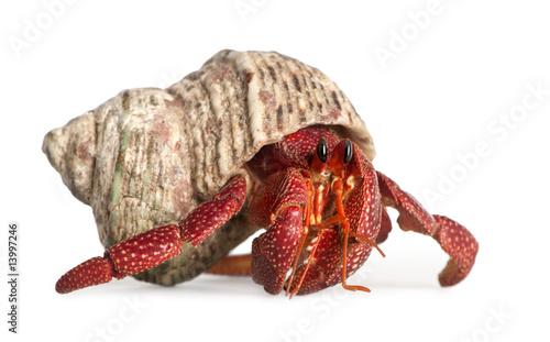 Fotografia hermit crab - Coenobita perlatus