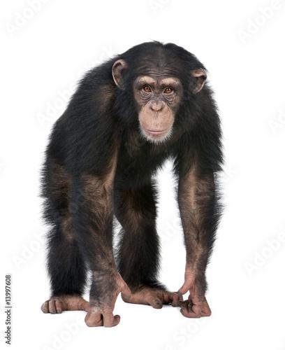 Fototapeta Young Chimpanzee looking at the camera - Simia troglodytes (5 ye