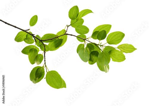 Fotografia green branch isolated
