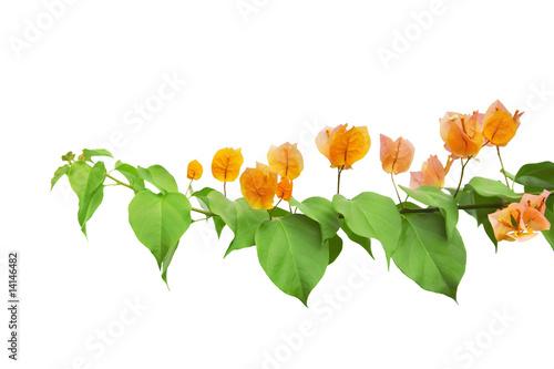 Photo Bougainvillea flowers