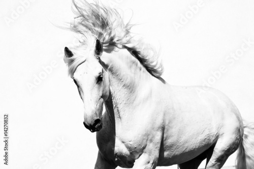 white arabian horse stallion isolated on the white #14270832