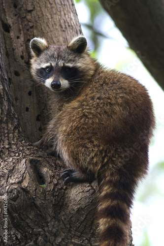 Canvas Print raccoon / Procyon lotor
