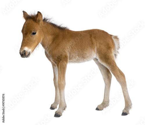 Obraz na płótnie Foal (4 weeks old)