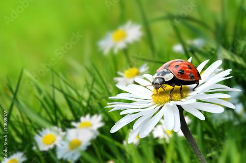 Marienkäfer auf Blüte 5.1