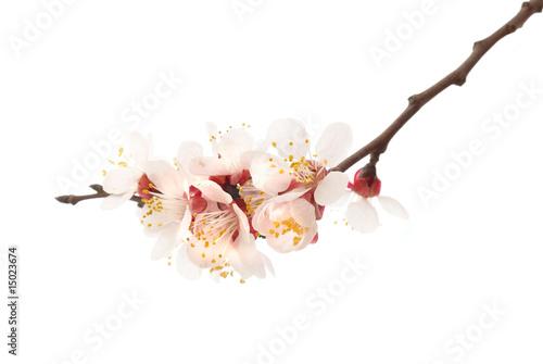 Obraz na płótnie Almond tree pink flowers.