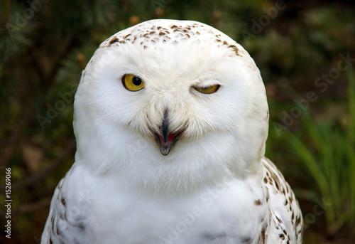 Canvas Print snow owl winking