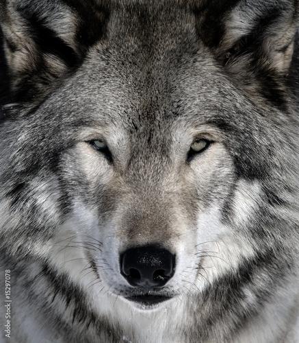 Fotografie, Obraz Gray Wolf