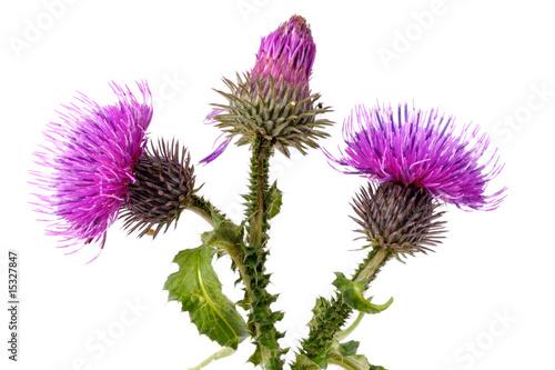 Fényképezés Burdock flowers