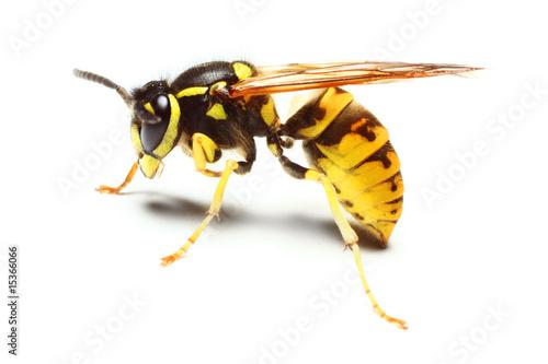 Close-up of a live Yellow Jacket Wasp Tapéta, Fotótapéta