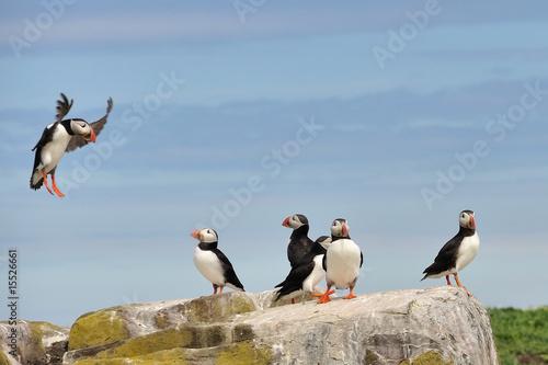 Fotografie, Obraz Puffin landng on rock - Farne Islands (North East England)
