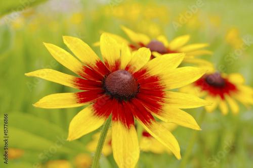 Yellow red chrysanthemum