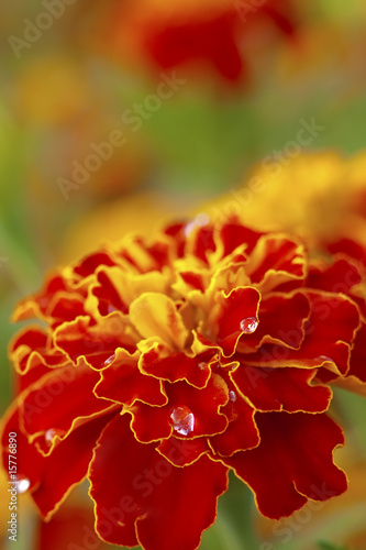 Marigold with water drops