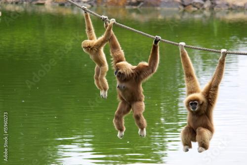 Valokuvatapetti Gibbon monkey family hanging on rope