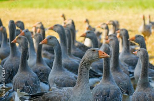 Fotografie, Tablou perigord geese