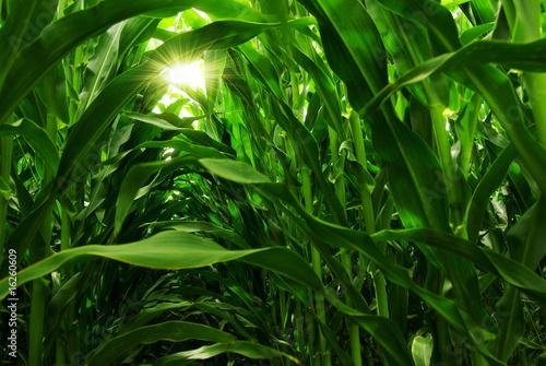 Corn Field Fotobehang