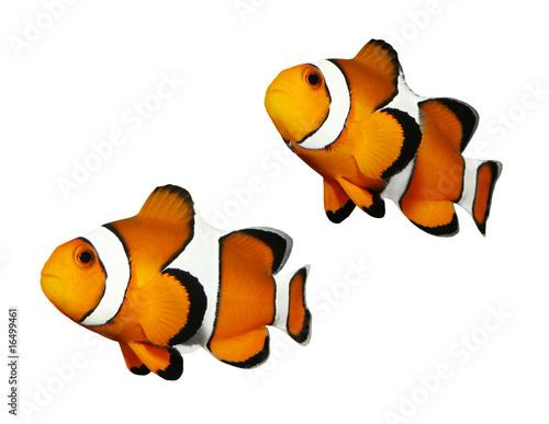 Vászonkép Tropical reef fish - Clownfish (Amphiprion ocellaris)