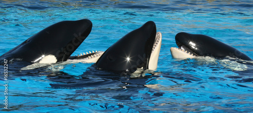 A Trio of Oceanarium Killer Whales Socialize in TheirTank #16532247