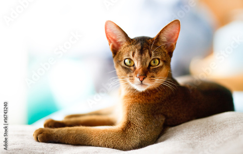 Fotografia young Abyssinian cat in action