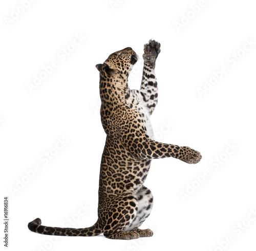 Fototapeta premium Leopard reaching up against white background, studio shot