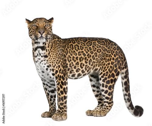 Obraz na plátně Portrait of leopard standing against white background