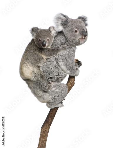 Koala bears climbing tree, in front of white background