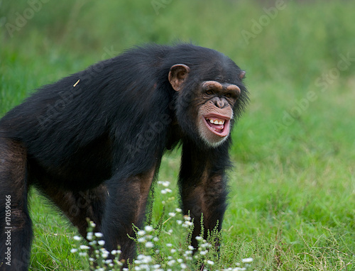 Fototapeta Adult Chimpanzee - (Pan troglodytes)