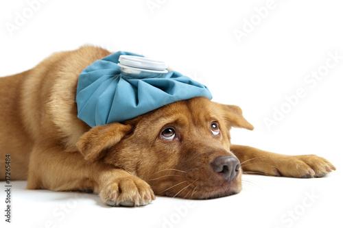 Fotografia Sick Dog