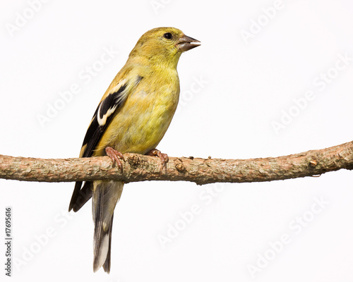 Fotografia female american goldfinch perch on a branch