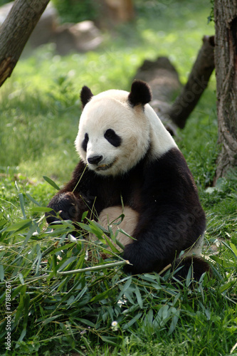Canvas Print Giant pandas in a field