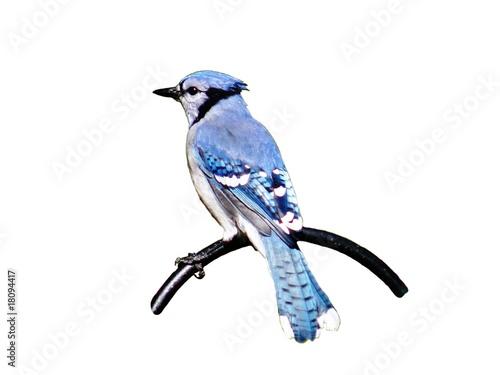Wallpaper Mural Blue Jay