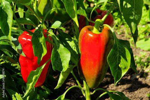 Slika na platnu Paprika Pflanze - paprika plant 02