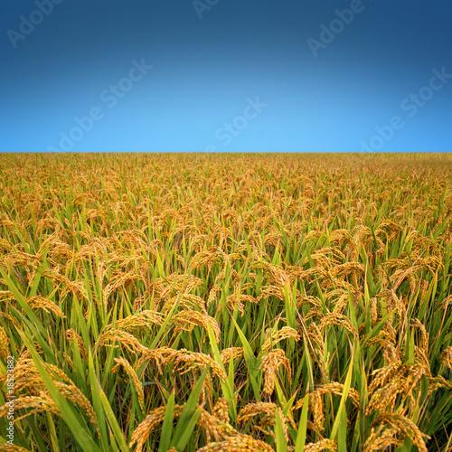 Photo Autumn rice field