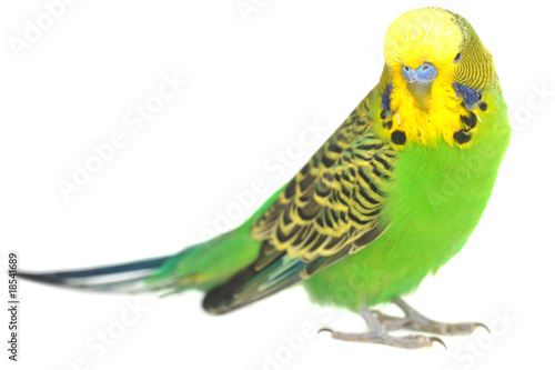 Photo portrait of  budgerigar