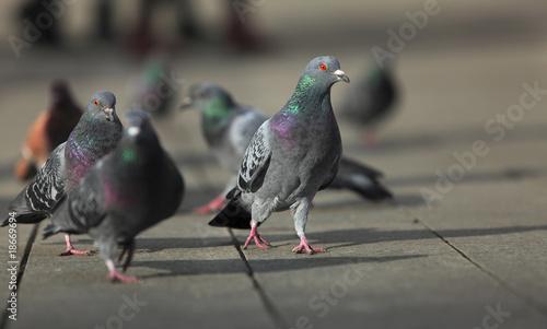 Walking pigeons