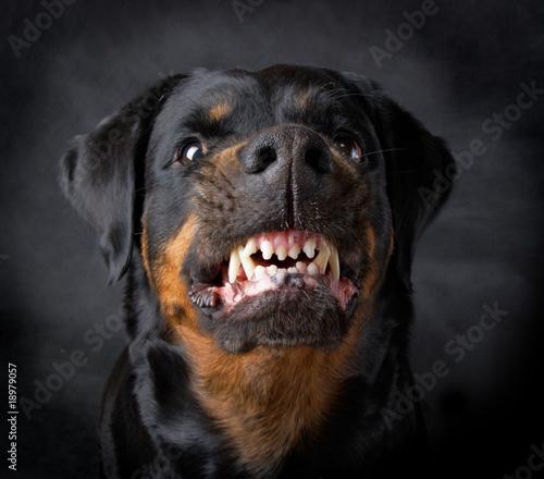 Fotografie, Obraz Dog of breed rottweiler.