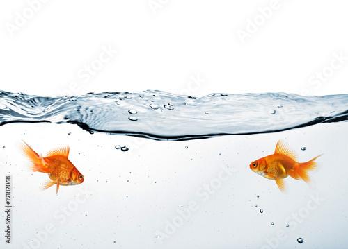 Fotografiet two goldfish in water