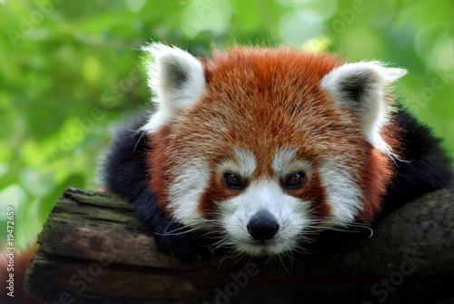Fototapeta Kleiner Panda