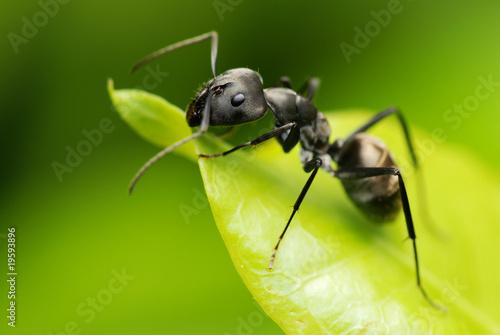 A black ant resting on green leaf