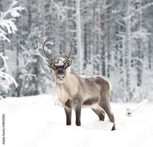 Fototapeta Renifer w śnieżnym lesie do pokoju
