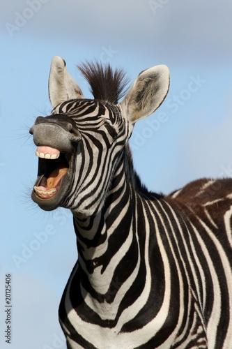 Wallpaper Mural Laughing Zebra
