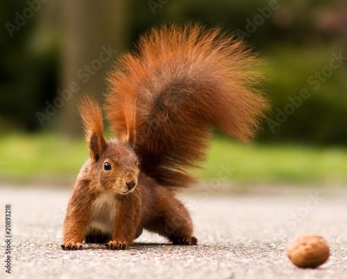 Fotografie, Obraz Eurasian red squirrel - Eichhörnchen und Walnuss
