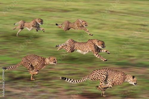 Obraz na płótnie Cheetah five
