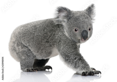 Side view of Young koala, standing and looking at the camera