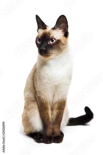 Wallpaper Mural Siamese cat
