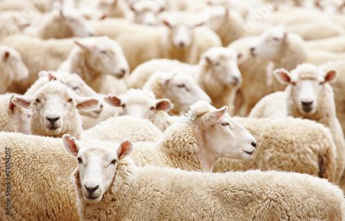 Obraz na plátně Herd of sheep
