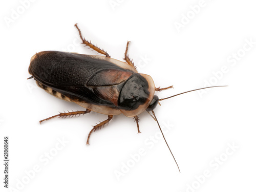 Side view of Dubia cockroach, Blaptica dubia, standing
