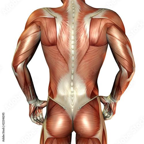 Wallpaper Mural Muskelaufbau männlicher Rücken