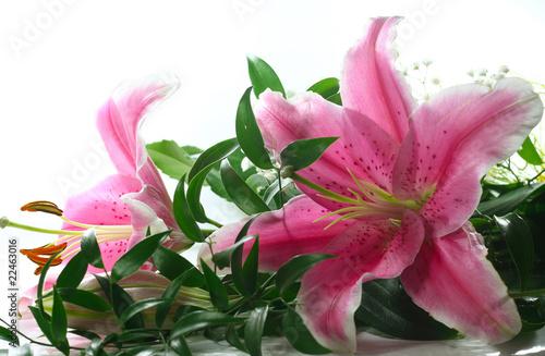 Obraz na plátně Pink lillies on white background