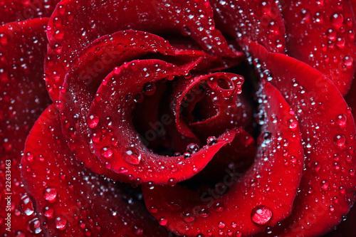 Photo Rose dew drops