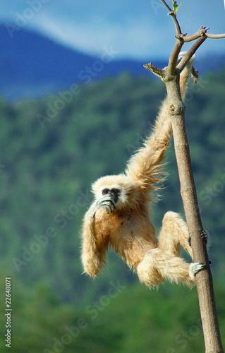 Canvastavla gibbon